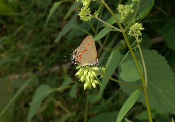 The Red-banded Hairstreak (Calycopis cecrops) was recorded in 2016 by our monitoring team and was a new Greene County record.