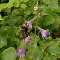 Black and gold bumble bee on tall larkspur